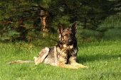 A German Shepherd Dog Laying On Green Grass With Green Tree In Background. A Wolf-grey Color German  poster