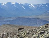 Snow Capped Mountain Peaks And Lake With Reindeer Going Down From Sanjartjakka Mountain Top. Animal  poster