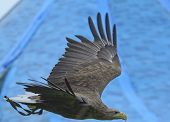 pic of yurt  - Eagle flying in front of a blue yurt - JPG