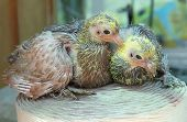 stock photo of pigeon loft  - Pigeon nestling little young bird sitting together - JPG