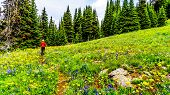 Woman Hiking Through The Alpine Meadows Filled With Colorful Wildflowers On Tod Mountain At The Alpi poster