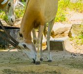 Closeup Of Scimitar Oryx, Horned Antelope, Animal Specie That Is Extinct In The Wild poster