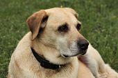 Portrait Of An Older Yellow Labrador Retriever Dog, Lying In Green Grass. poster
