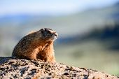 Face And Whiskers Of Yellow Bellied Marmot Sitting On Rock poster