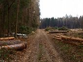 The Road In Forest In Late Autumn. The Felled Trees And Felling Proсess. Freshly Cut Pine Trunks Nea poster