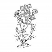 Hypericum Perforatum, St. Johns Worth. Herbal Hand Drawn Engraving Illustration, Minimalism Style. S poster