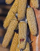Ears Of Corn In A Bunch On A Dryer. A Pigtail Of Fresh Yellow Corn Ears With Seeds Is Dried To Feed  poster