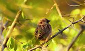 House Sparrow In Wild Nature. Animal Live In Wild Nature. poster
