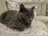 Cute Grey Russian Blue Cat Feline Animal Pet Resting On Sofa Inside House poster