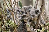 The Mother Koala Has A Joey On Her Back And Another Joey Next To Her poster