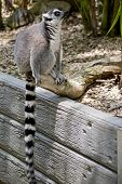 The Ring Tailed Lemur Is Sitting On A Wall Showing His Long Striped Tail poster