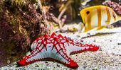 Closeup Of A African Red Knob Sea Star, Tropical Ornamental Aquarium Pet, Starfish Specie From The I poster