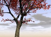 foto of maple tree  - this is a maple trees - JPG