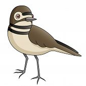 picture of killdeer  - An Illustration depicting a cute killdeer standing - JPG