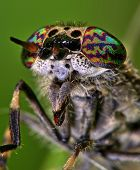 stock photo of gadfly  - Close up of a gadfly taken in Koningsbosch - JPG