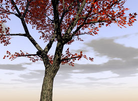 picture of maple tree  - this is a maple trees - JPG