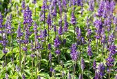 picture of salvia  - Meadow with blooming Blue Salvia herbal flowers - JPG