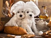 foto of chef cap  - Miniature Schnauzer  in chef - JPG