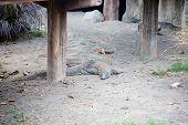 picture of komodo dragon  - Comodo dragon in nature in  Komodo island - JPG