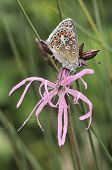 Common Blue On Ragged Robin