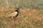 Black-headed Plover In A Natural Setting