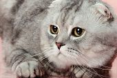 image of scottish-fold  - fluffy gray beautiful adult cat breed scottish - JPG