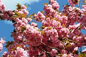 image of japanese magnolia  - Blooming spring tree branch in the park