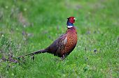 image of pheasant  - Photo of pheasant standing in the grass - JPG
