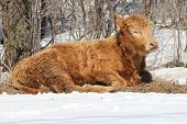Little brown bull laying on straw