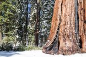 image of sequoia-trees  - Giants Sequoia Grove in the Mariposa - JPG
