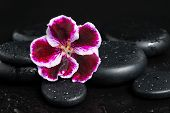 pic of geranium  - Spa concept with beautiful deep purple flower and zen stones with drops on black background
