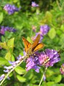 stock photo of rare flowers  - Rare brown butterfly on violet flower in summer - JPG