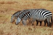 Three Zebras grazing