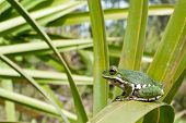 foto of saw-palmetto  - A young Barking Tree Frog on a Saw Palmetto