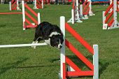 Cute Dog Jumping In Competition Show poster