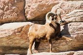 Mountain Bighorn Sheep