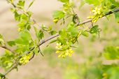 Beautiful spring twig with yellow flowers and leaves, outdoors