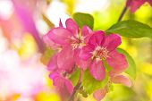 Quince Blossom As Spring Background