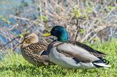 stock photo of animals sex reproduction  - Couple of mallard ducks at spring - JPG