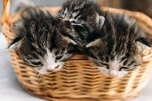 Three Kitten In A Basket
