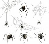 pic of black widow spider  - Spiders and spider web - JPG