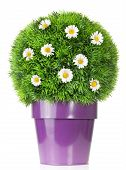 image of potted plants  - flower pot with daisies in green bush isolated on white - JPG
