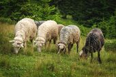 picture of herd  - herd of sheeps close up - JPG