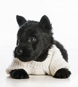 stock photo of scottish terrier  - cute puppy wearing knitted sweater laying down on white background  - JPG