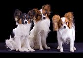 picture of epagneul  - Three dogs of breed papillon on a black background - JPG