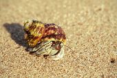 image of hermit crab  - Tiny hermit crab in its shell crawling on the hot sand - JPG