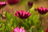 picture of daisy flower  - Pink Osteospermum Daisy or Cape Daisy Flower - JPG