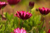 foto of daisy flower  - Pink Osteospermum Daisy or Cape Daisy Flower - JPG