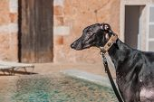 stock photo of attention  - Attentive black Greyhound dog guarding house and garden - JPG