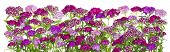 foto of carnations  - The line of the red and pink Carnation flowers on a bed isolated collage - JPG